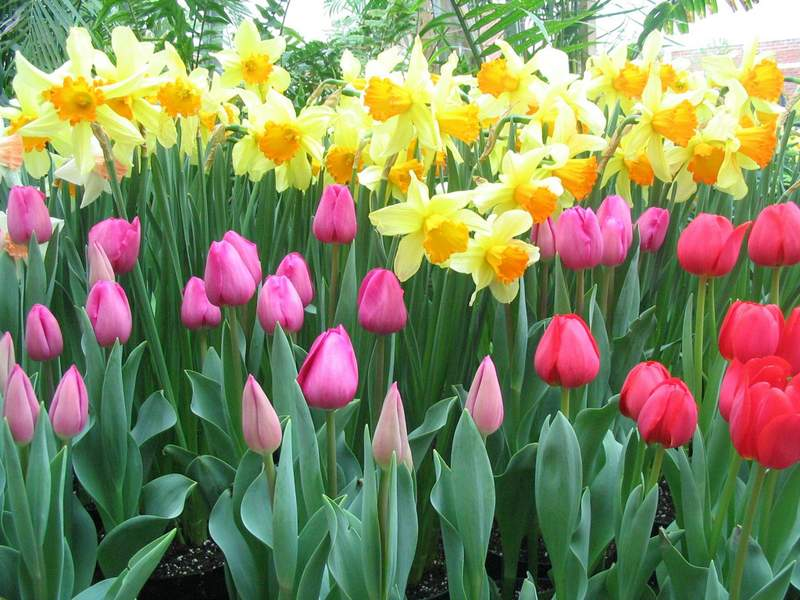 Spring Flowering Bulbs Now in Stock