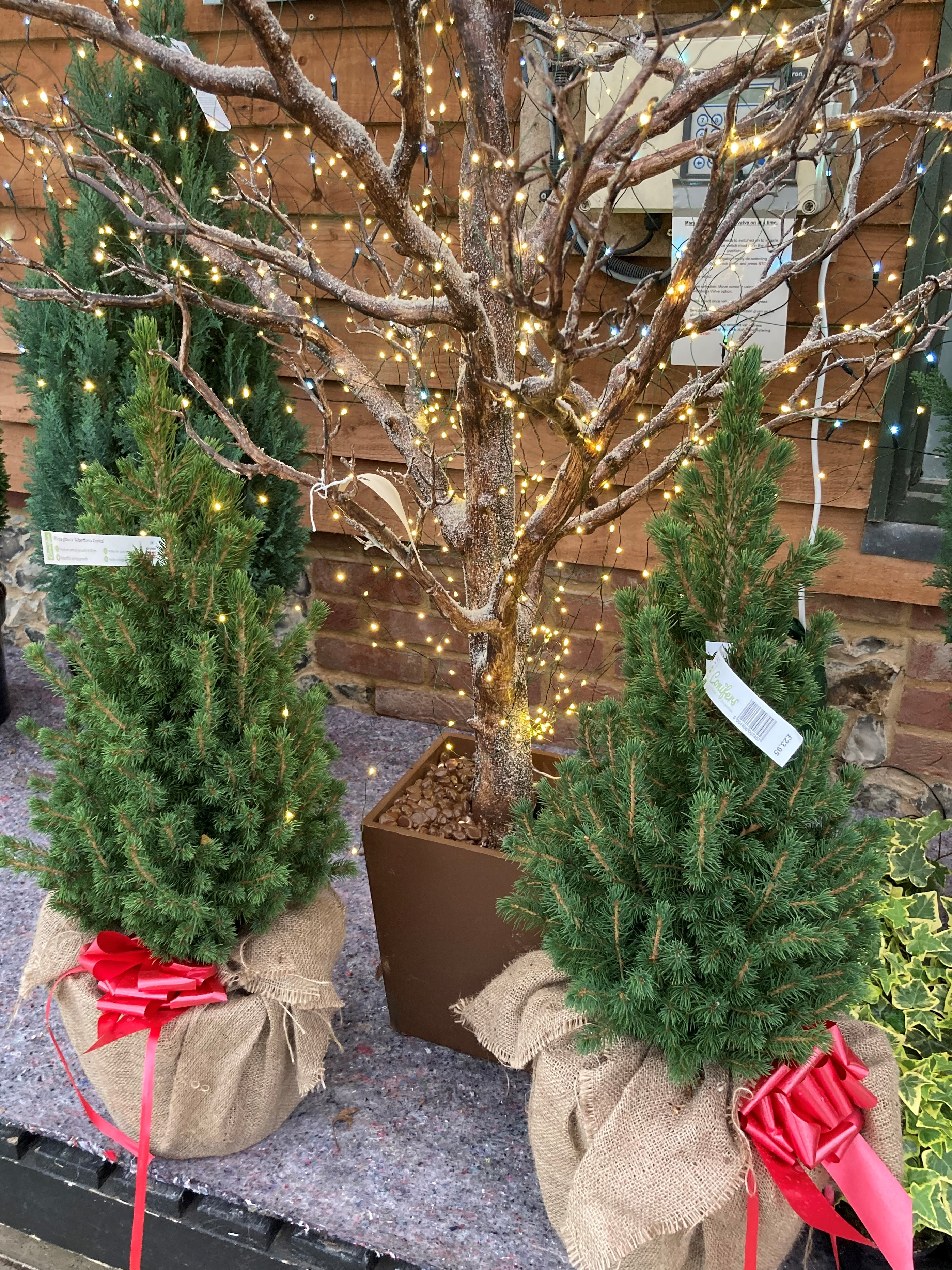 Christmas Trees: Cut trees due w/c 23rd November. Some potted trees available NOW!
